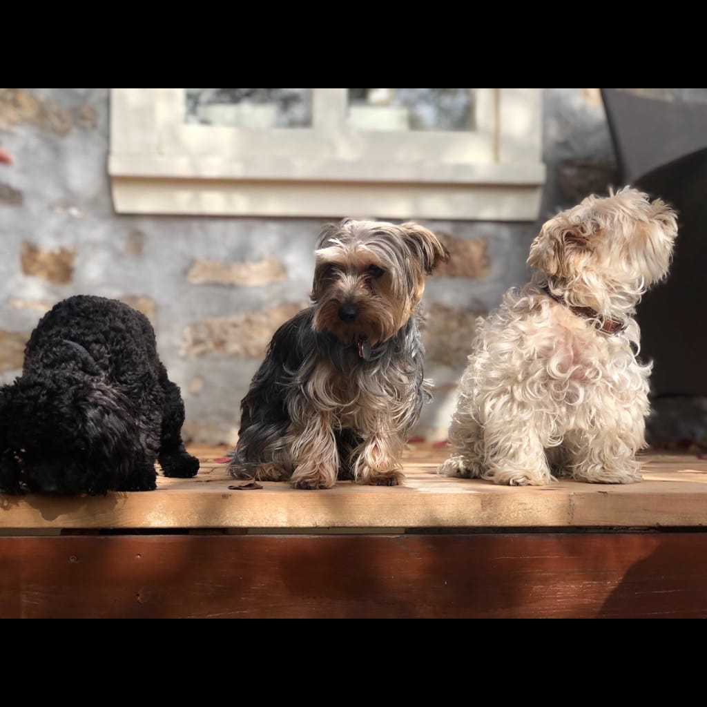 Picture of three small dogs